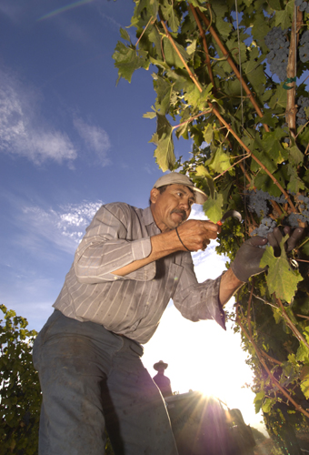 A farm worker inspecting grapes on a vine.
